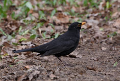 Black thrush. Close up of black thrush on ground Royalty Free Stock Image