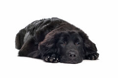 Black Tibetan Mastiff puppy Royalty Free Stock Photography
