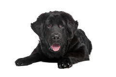 Black Tibetan Mastiff puppy Royalty Free Stock Photo