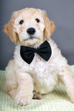 Black tie goldendoodle pup Stock Images