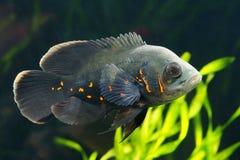 Oscar fish Astronotus ocellatus. Black tiger Oscar fish Astronotus ocellatusin aquarium royalty free stock image