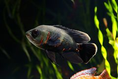 Oscar fish Astronotus ocellatus. Black tiger Oscar fish Astronotus ocellatusin aquarium stock photography