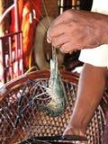 Black tiger prawn Stock Images
