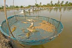 Black tiger prawn Stock Photography