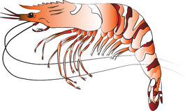 Black Tiger Prawn Stock Image