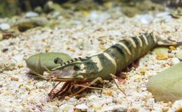 Black tiger prawn Royalty Free Stock Images