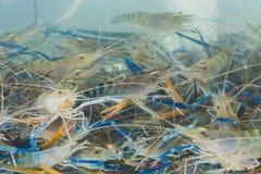 Black Tiger shrimp fed in tank. At resturant stock image