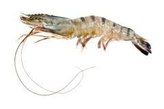Black tiger shrimp. Fresh black tiger shrimp twenty two cm length Stock Photography
