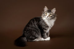 Black tiger siberian cat. Female on dark brown background royalty free stock images