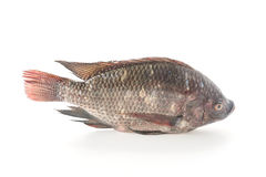 Black Tilapia or Tilapia Stock Photography