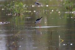 Black-tilt birds feeding in swamp. Birds feeding in swamp on blurry background with sunlight Stock Images