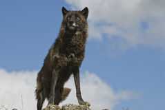 Black timber wolf. Blacl wolf on ridge against blue sky,Montana Royalty Free Stock Photos