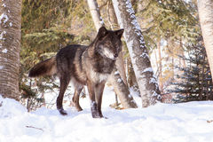 Black timber wolf at alert in snow. A beautiful black timber wolf standing at alert royalty free stock photos
