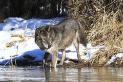 Black timber wolf drinking water Royalty Free Stock Photography