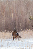 Black timber wolf landscape shot. In the wintertime royalty free stock photos