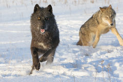 Black timber wolf royalty free stock image