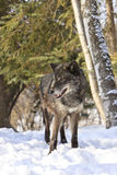 Black timber wolf portrait. In snow Stock Photography
