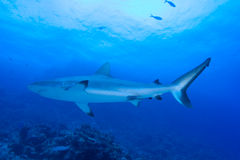 Black tip reef shark Royalty Free Stock Photography