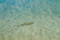 Black tip reef shark Stock Image
