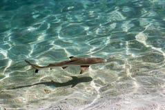 Black tip reef shark, Maldives Royalty Free Stock Photo