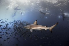 Black tip reef shark and snorkelers. Swimming underwater in the Galapagos Islands royalty free stock photos