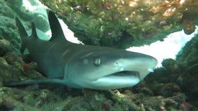 Black tip reef sharks swimming underwater stock footage