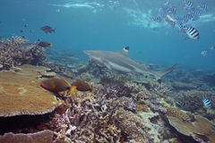 Black Tip Shark. In Shallow Water Stock Photo