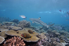 Black Tip Shark. In Shallow Water Royalty Free Stock Images