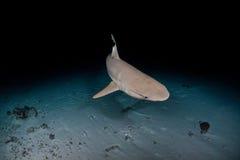 Black tip Shark in maldives Royalty Free Stock Photography