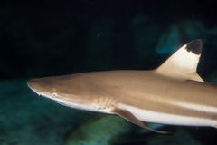 Black Tip Shark royalty free stock photos