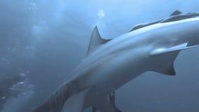 Black tip sharks swimming around bait stock video footage