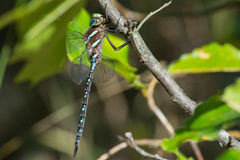 Black-tipped Darner Royalty Free Stock Photography