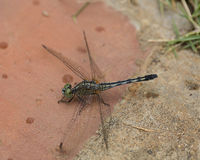 Black Tipped Ground Skimmer DragonFly on Brick Royalty Free Stock Photo