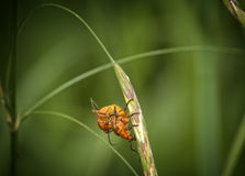 Black-tipped orange beetle Royalty Free Stock Photography
