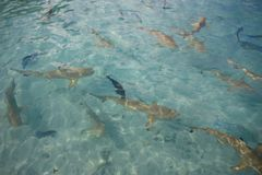 Black tipped reef sharks Royalty Free Stock Photo