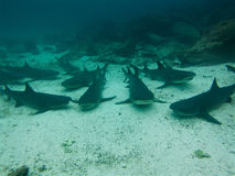 Black tipped reef sharks, Galapagos Islands, Ecuador. Black tipped reef sharks on the sea bed of the Pacific Ocean in the Galapagos Islands, Ecuador stock images
