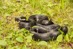 black tjaller ormen Fotografering för Bildbyråer