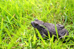 Black toad Royalty Free Stock Images