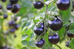 Black tomatoes on a branch in the garden. Indigo rose tomato.  stock images