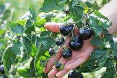 Black tomatoes on a branch in the garden. Indigo rose tomato.  stock photography