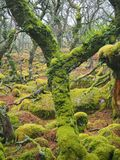 Black-a-Tor Copse oak woodland with green lichens and mosses, Dartmoor National Park, Devon, UK. Black-a-Tor Copse high altitude oak woodland above the West stock photo