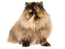 Black tortie Persian kitten Royalty Free Stock Image