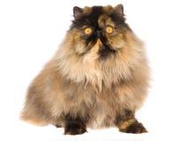 Black tortie Persian kitten Royalty Free Stock Image