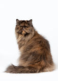 Black tortoise persian female cat. On white background Royalty Free Stock Photography