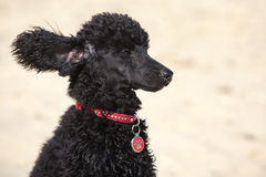 Black toy poodle. A funny little toy poodle with ears blowing in the wind Royalty Free Stock Photo