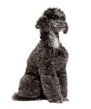 Black toy poodle Royalty Free Stock Photography
