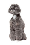 Black toy poodle Stock Photography