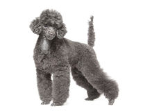 Black toy poodle Stock Photos