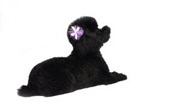 Black Toy Poodle Isolated Stock Photography