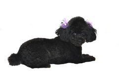 Black Toy Poodle Isolated Royalty Free Stock Images